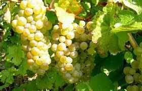 Riesling Producers Central Coast California