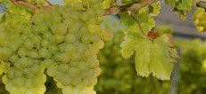 Sauvignon Blanc Producers Central Coast California