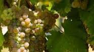 Viognier Producers North Coast California