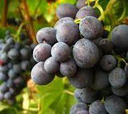 Muscat Canelli Producers San Francisco Bay California