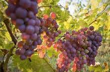 Mourvedre Producers San Francisco Bay California