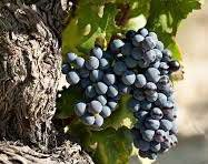 Grenache Producers Central Valley California
