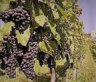 Red Côtes de Toul Producers Lorraine Region France