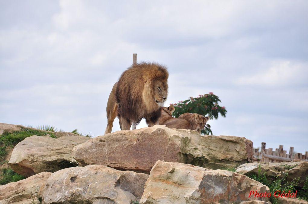 Diaporama 9 photos. Lions d'Afrique du Sud.