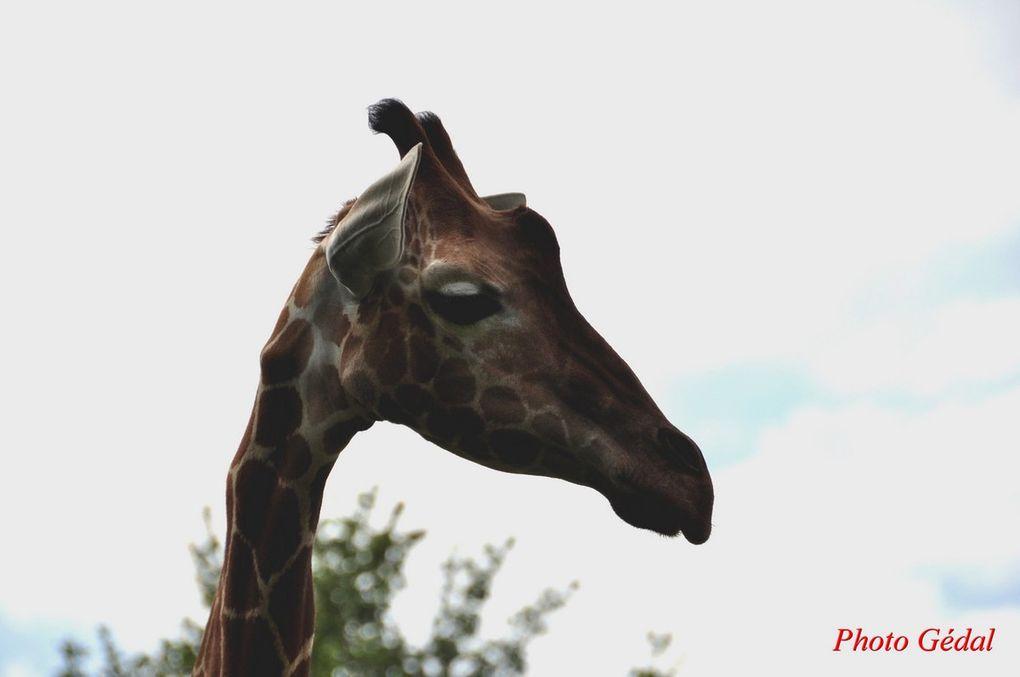 Diaporama 6 photos. Girafes réticulées.