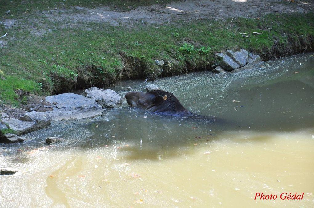 Diaporama 7 photos.Tapir Malais.