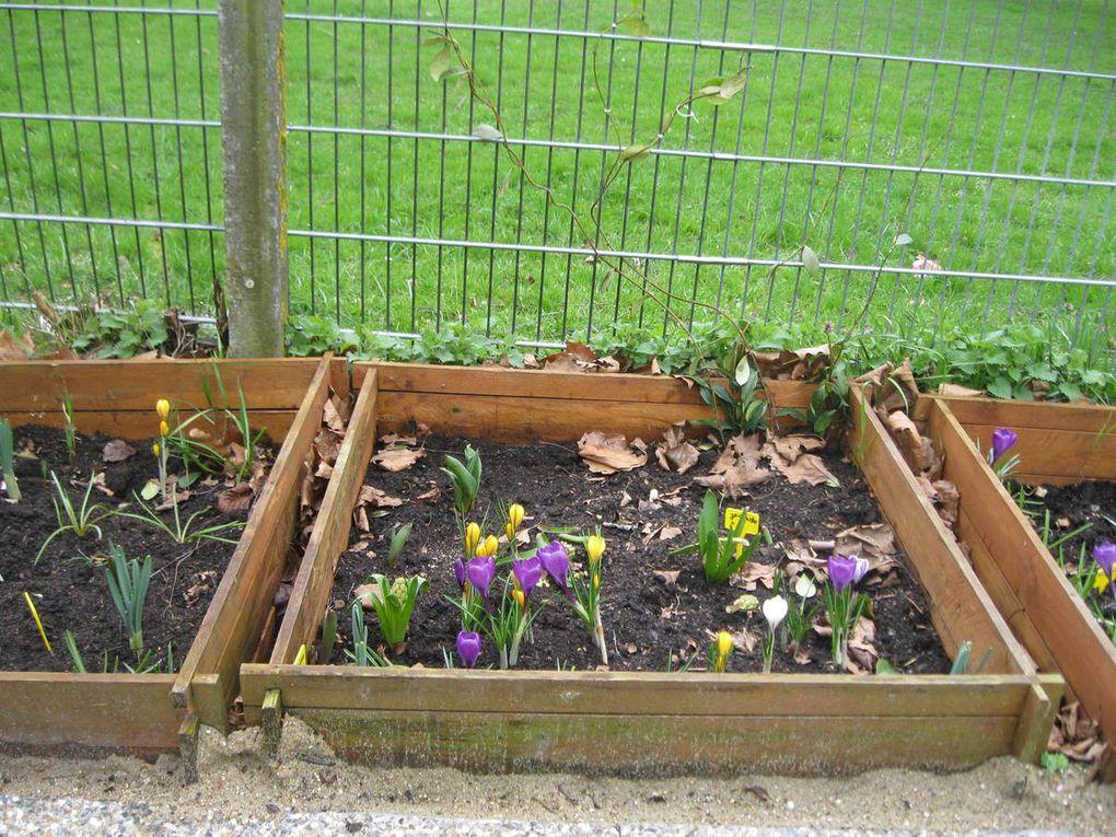 Floraison des carrés potagers, semis de piment et radis, démariage des semis d'aromatiques.