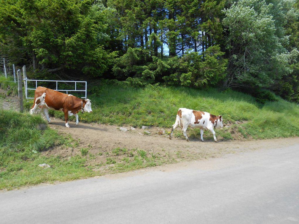 Du pis de la vache à votre assiette. 2..Le Saint-Nectaire