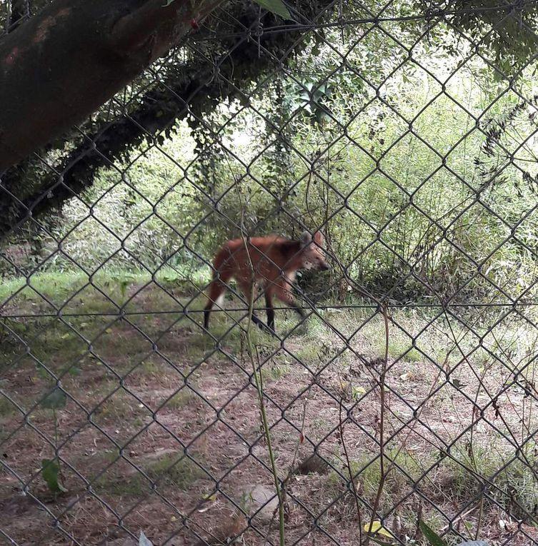 Et voici le loup à crinière...même si pour moi on est plutôt entre le mixte renard et hyène  &#x3B;-)