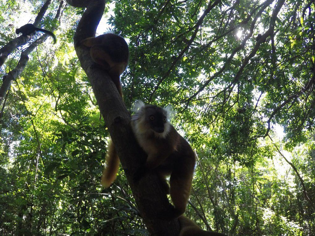 Black lemur (eulemur macaco macaco) La femelle est rousse et le mâle est noir et légèrement plus petit ce sont les femelles qui sont dominantes.