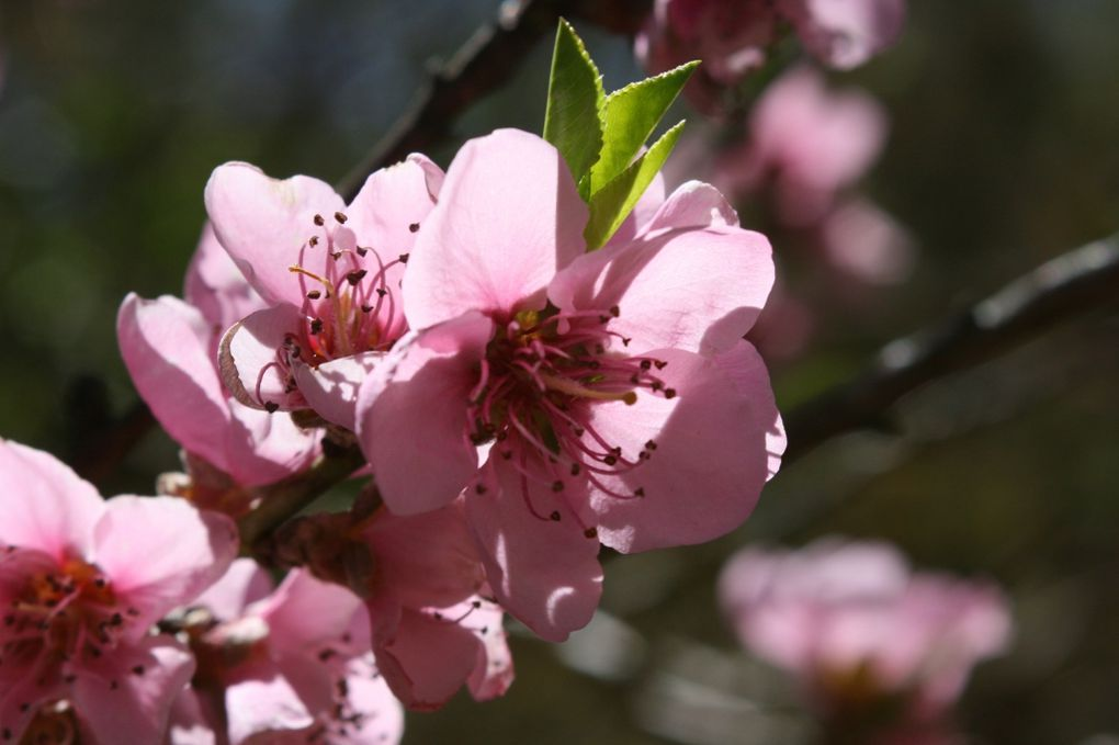 La floraison du printemps sur la ferme, entre les fleurs et les arbres fruitiers...