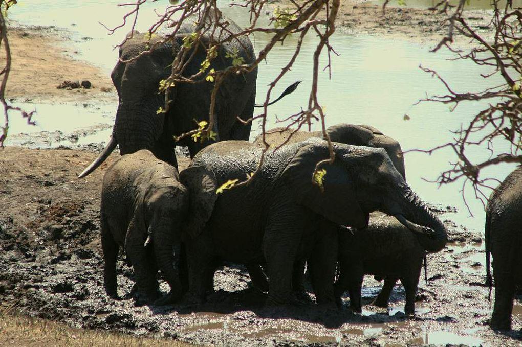 Des éléphants impressionant et des girafes élégantes