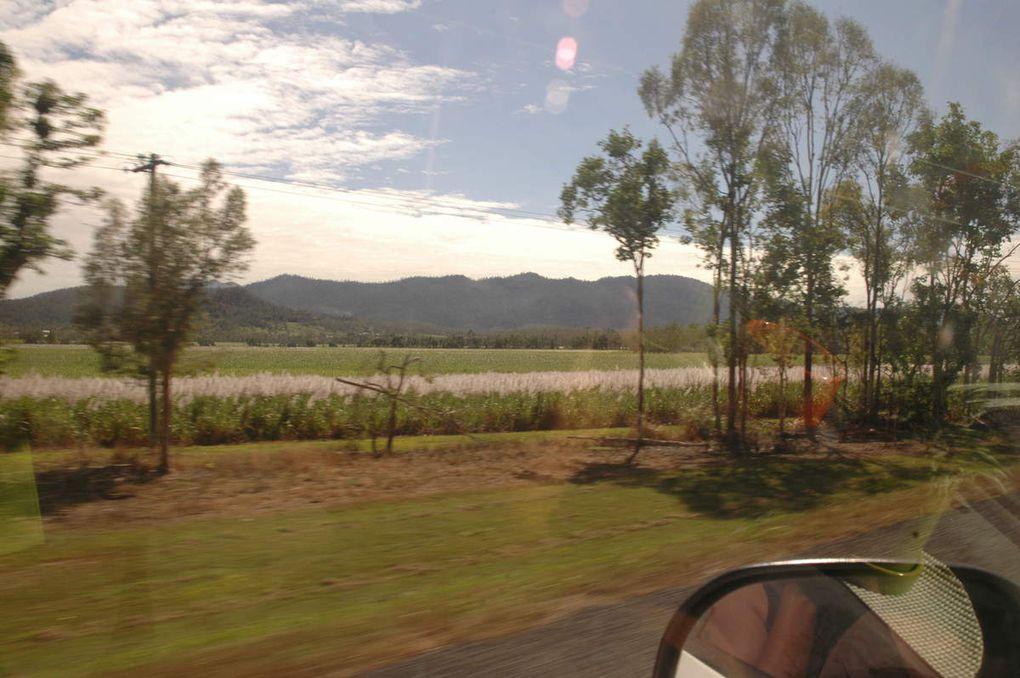 champs de cannes à sucre en fleurs! / the sugar cane fields start to blossom!