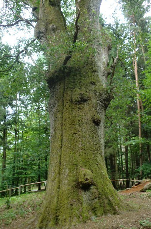 Le Gros Chêne, d'une circonférence de 6,30 mètres à hauteur d'homme, et d'une hauteur de 32 mètres, trône dans cette magnifique forêt depuis plus de 400 ans.