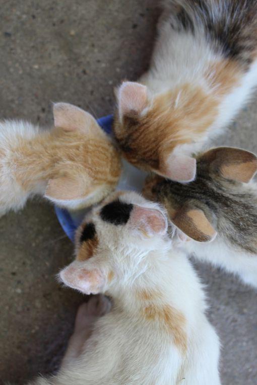 Des chats, toujours des chats... Les petits d'il y a 7 mois sont grands à présent, laissant place aux nouvelles portées, toujours aussi belles.