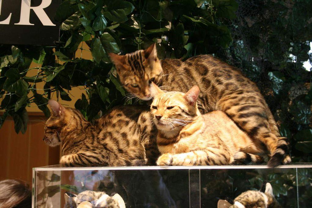 Bar à chats du bengal