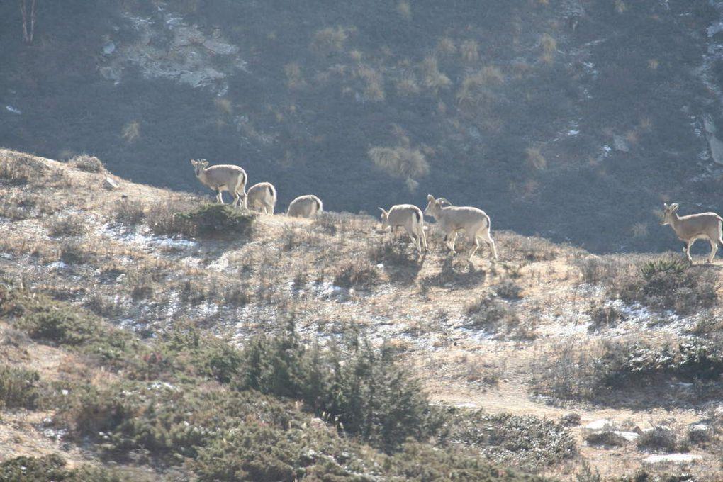 Les yaks et les wild sheep.