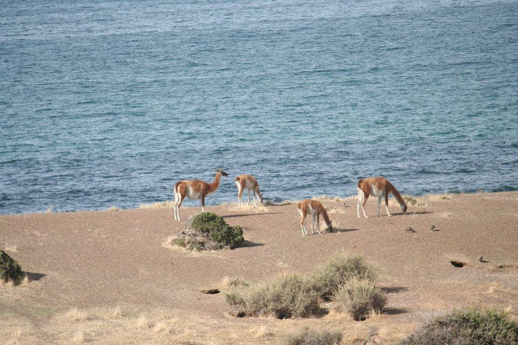 Les manchots de Punta Tombo