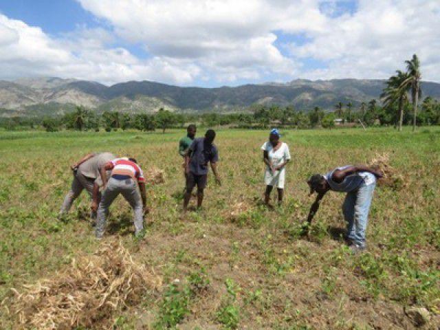 Après Matthew, une première récolte de haricot plutôt réussie pour Cavaillon