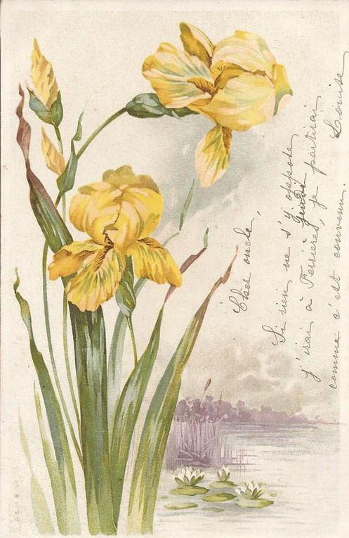 511 - IRIS JAUNES - écrite en 1903 sur carte dos non-divisé