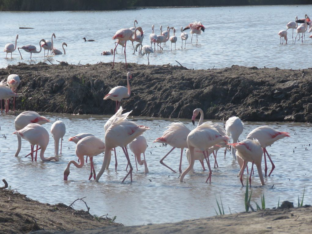 Des Flamants roses par centaine