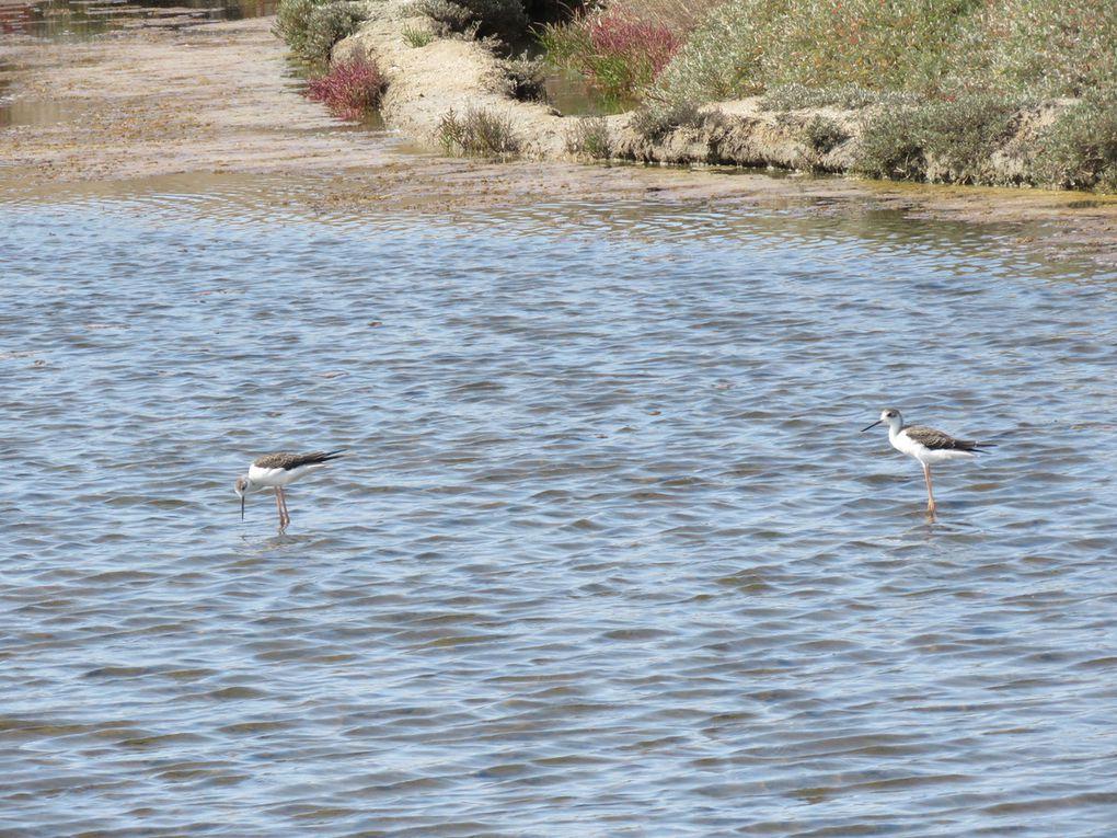 De jeune échasses blanches dans l'eau et un adulte au repos