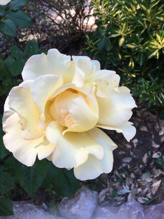 les Roses. diaporama: cliquer sur l'image