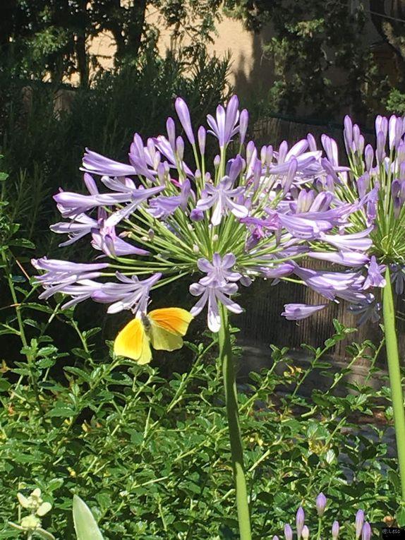 cliquez sur l'image, diaporama &quot&#x3B;agapanthes de mon jardin&quot&#x3B;