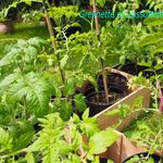 Plantations de Tomates : on y va !