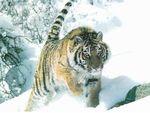 Cinq ans parmi les tigres de Sibérie (Doc) [VF]
