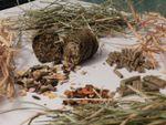 Cheval sujet à des myosites. Intérêt d'une alimentation à teneur réduite en amidon