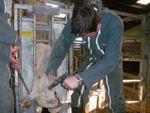 """Séance pratique en """"élevage allaitant"""" term.Bac Pro.VA."""