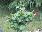 Balade  au Jardin d' Hibiscus