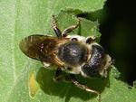 Osmia caerulescens (abeille maçonne) - Hylaeus communis -