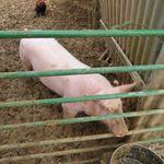 Le petit cochon