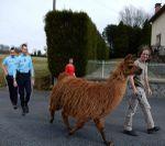 Le lama des Loubières