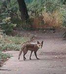 Des renards à Bagnolet