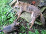 Une renarde allaitante au collet près du poulailler