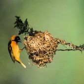 Petit à Petit, l'oiseau fait son nid -