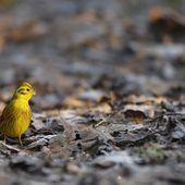 Rouge-gorge familier, bruant jaune et merle noir (sous-bois du Marquenterre)