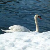 Le cygne du lac de Bled - Voyages, escapades, randonnées