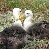 Albatros en danger - coco Magnanville