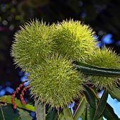 Je suis la farine ! Crie la fleur de châtaigne - coco Magnanville