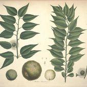 L'écho des palmiers : L'oranger des Osages - coco Magnanville
