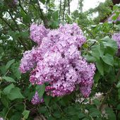 Beautiful lilac time - inandaroundlorraine.over-blog.com