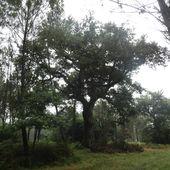 Chêne de Nerthe , Magescq ( Landes 40 ) AA