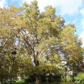 Platane d'orient , Square des Batignolles , Paris 17 éme ( Paris 75 ) AA