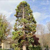Séquoia Géant, allée Marcel Proust ( Paris 75 ) A - ONVQF.over-blog.com