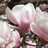 Plantain et allergies saisonnières - www.lesjardinsdalice.ch
