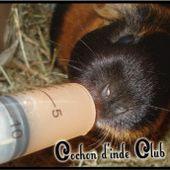 Comment déceler une carence en vitamine C ? - Cochon d'inde Club